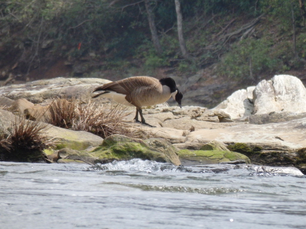 Canada goose in Linville Gorge. (Photo: Nicholas Massey)